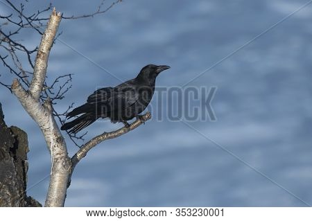 Carrion Crow Sitting On A Birch Branch On A Winter Day