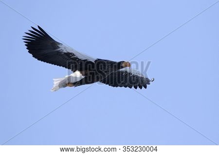 Flying Stellers Sea Eagle On A Winter Morning
