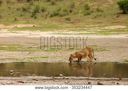 Lioness (panthera Leo Krugeri) Is Drinking In The Desert. Lion At The Waterhole.