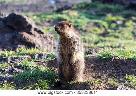 Black-capped marmot (Marmota camtschatica). This type of marmot is biologically similar to the Mongo