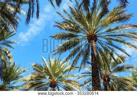 Upward View Of Date Palm Trees Against Blue Sky Background. Copy Space