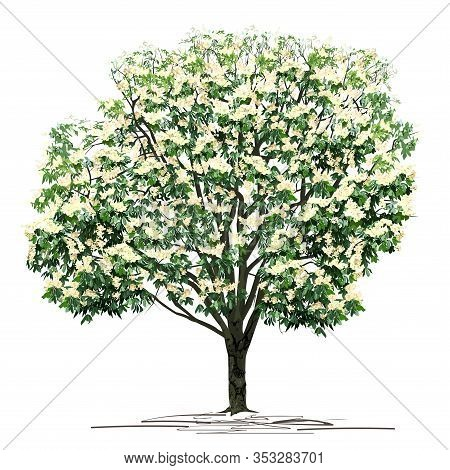 Flowering Chestnut (castanea L.) Tree With White Colors, Colored Vector Image On White Background