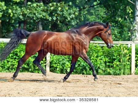 galloping bay sportive breed horse in open manege poster