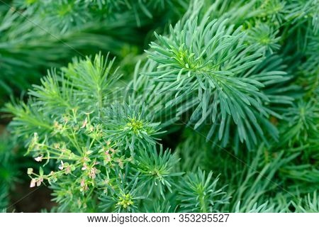 Euphorbia Cyparissias, The Cypress Spurge, Is A Species Of Plant In The Genus Euphorbia. Natural Bac
