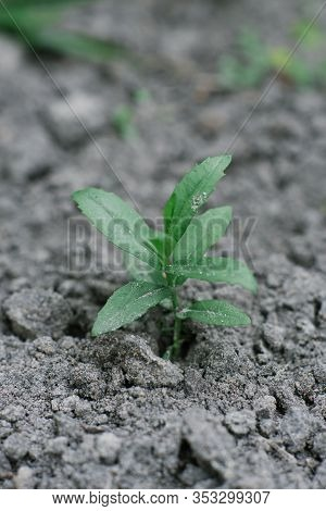 Seedlings Grow On The Black Earth In The Garden In The Spring. Selective Focus. Spring Planting In T