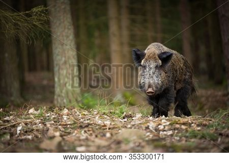 Sus Scrofa. Free Nature. Beautiful Picture. Animal Life. Wild Nature Of The Czech Republic. Animal I