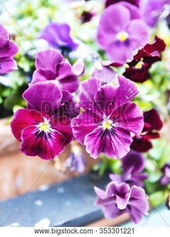 Very Nice Petunia Flowers In Desenzano Del Garda , Italy