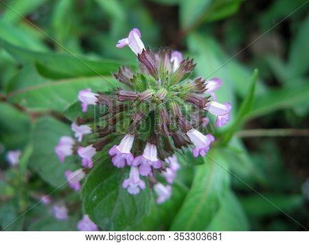 Self-heal (heal-all) (prunella Vulgaris). View Above Of Wildflower Self-heal In Spring. Close Up.
