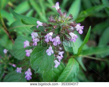 Heal-all (prunella Vulgaris) Flower In Meadow In Spring. View Above Of Self-heal (heal-all). Close U