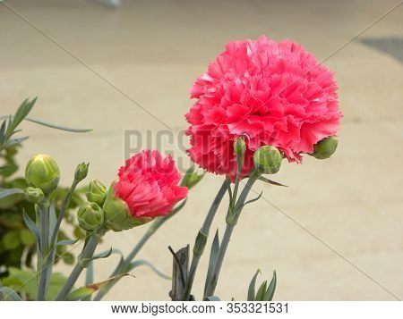 Beautiful Pink Carnation Flower Close-up.  Pink Carnations And Unblown Buds Of Carnations. Warm Velv
