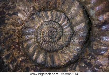 Fossilized Extinct Ammonite At Shallow Depth Of Field