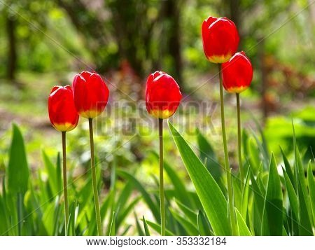 Colorful Red Tulips (tulipa L) In Blossom And Sun Backlights In City Garden. Springtime And Warm Lan