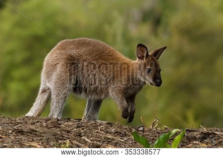 Bennett's Wallaby - Macropus Rufogriseus, Also Red-necked Wallaby, Medium-sized Macropod Marsupial,