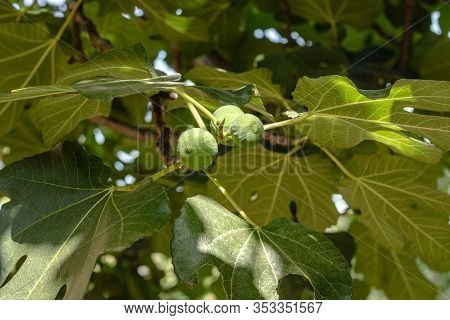 Fig Tree. Green Unripe Figs Are Growing On Fruit Tree Branch With Lush Foliage In Italian Garden