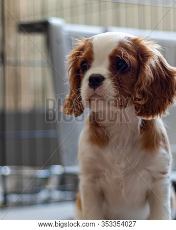 A Puppy Of The Cavalier King Charles Spaniel Breed Sits And Looks To The Side Before A Metal Crate.