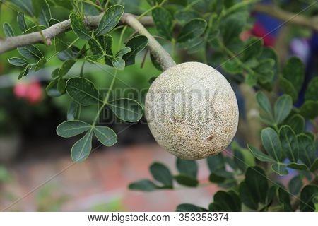 Limonia Acidissima On The Tree. Wood Apple, Curd Fruit