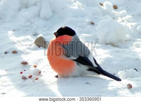 The Red Bullfinch Sits On Clear Snow. A Male Songbird, The Bullfinch In Winter. Bird Close-up. Wild
