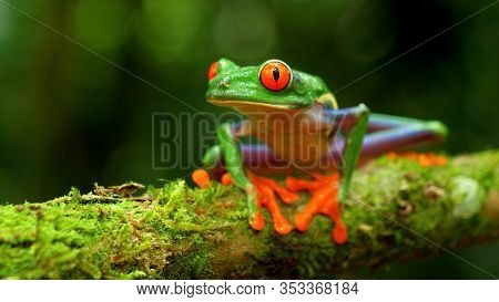 Red-eyed Tree Frog In Its Natural Habitat In The Caribbean Rainforest. Wildlife Endangered Species.