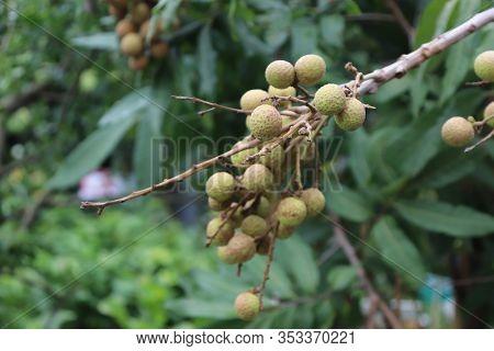 Longan Fruit. Fresh Tropical Longan Fruit On The Tree