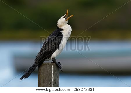 Little Pied Cormorant, Little Shag Or Kawaupaka (microcarbo Melanoleucos) Drying Its Wings Above The
