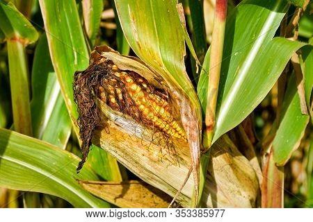 Ripe Corn Cob On A Corn Plant In A Field