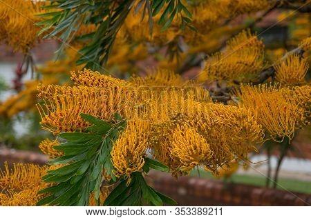 Grevillea Robusta Commonly Known As The Southern Silky Oak, Silk Oak Or Silky Oak, Silver Oak Or Aus