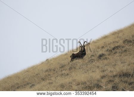Ibex Stands On A Grassy Mountain Slope And Looks At The Camera. Young Male Central Asian Ibex Froze