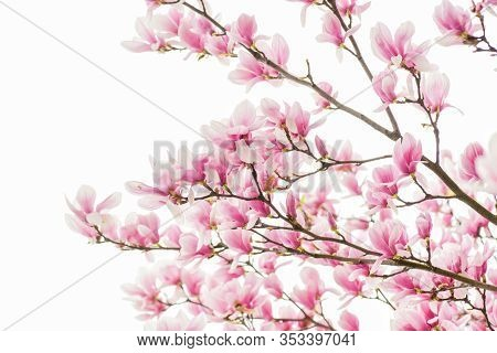 Happy Spring Day. Magnolia Blooming Tree., Natural Floral Background. Beautiful Spring Flowers. Magn