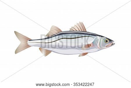 Seabass. Fish Atlantic Ocean Isolated On White Background. Vector Illustration With Details And Flat