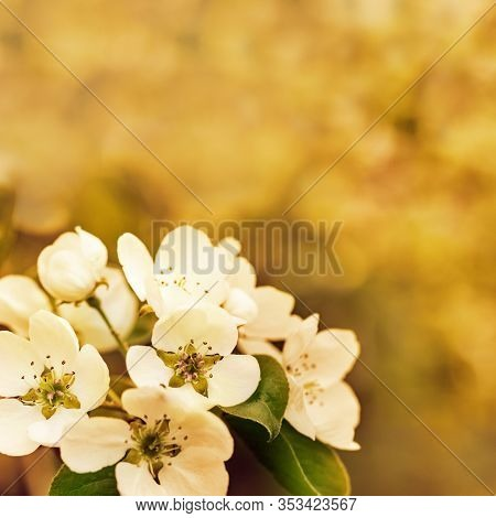 Beautiful Apple Blossom At Sunset. Spring Time In Nature, Flowery Blurred Background With Copy Space