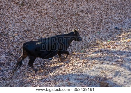 Lost Cow Looking For A Way.lost Cow Looking For A Way