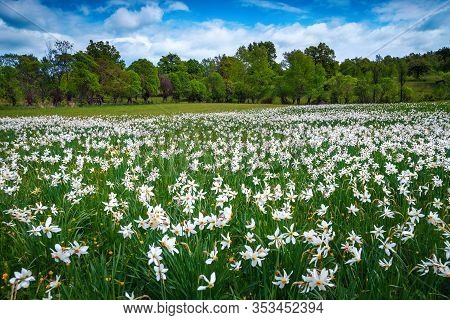 Majestic Daffodils Field And Fresh Green Forest. Blooming White Daffodils Flowers On The Glade. Wond