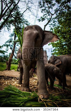 Mature female elephant with sugarcane in its mouth eating off the ground