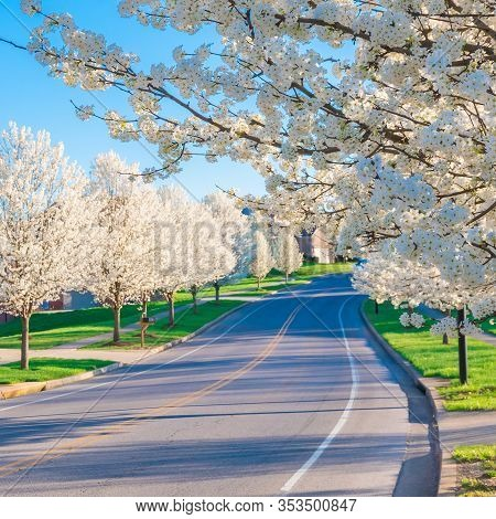 Springtime View Of A Street Road Lined By Beautiful Trees In Blossom.  Selective Focus.
