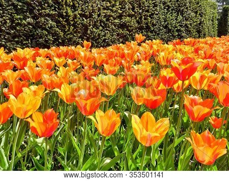 Colorful Bright Red And Yellow  Tulips Flowers Field, Natural Spring Background.