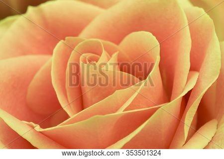 Close Up Of Orange  Rose Flower, Soft Focus.
