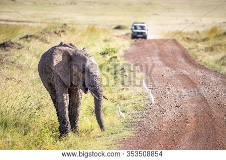 Young elephant and white cattle egrets on a dirt track in the Masa Marai, Kenya. A safari vhicle can be seen approaching in the distance.
