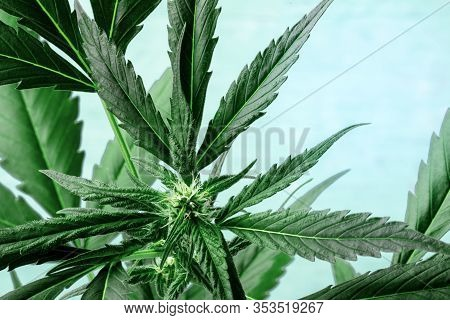 Cannabis With Vibrant Leaves, Stigmas And Trichomes, On A Blue Background, Growing Marijuana Plant,