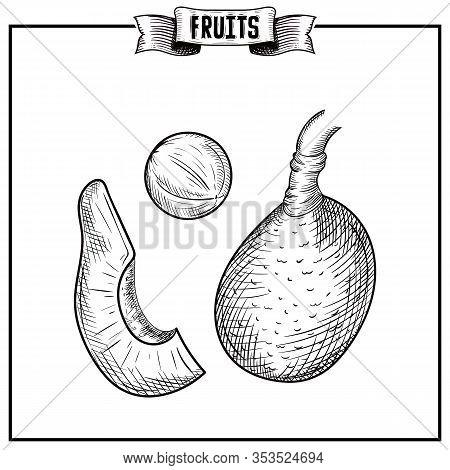 Retro Engraving Hand Drawn Vector Illustration Of Isolated Fruit. Persea Americana, Avocado, Avocado