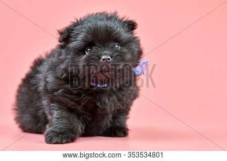Pomeranian Spitz Puppy, Copy Space. Cute Fluffy Black Spitz Dog On Pink Background. Family-friendly