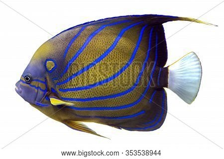 Blue Ring Angelfish (pomacanthus Annularis) Isolated On White Background.