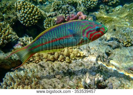 Coral Fish Thalassoma Klunzingeri  (wrasse) Nearby A Coral Reef Of The Red Sea