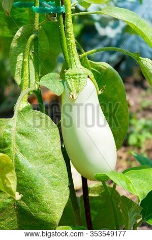 Close Up Of White Eggplant Growing Under The Sunlight On The Plant In The Garden