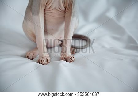 Belly And Boobs Of A Gray Sphinx Cat On A White, Gray Fabric Background