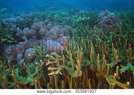 A Large Field Of Green Coral On A Healthy Reef In The Ocean