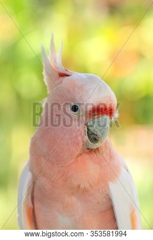 The Major Mitchell's Cockatoo (lophochroa Leadbeateri), Also Known As Leadbeater's Cockatoo Or Pink