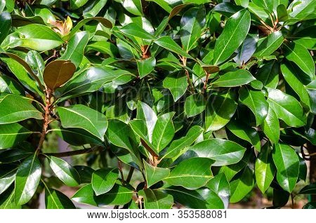 Bright Green Large Leaves Of Magnolia With A Glint Of Sunlight On The Surface. Close-up
