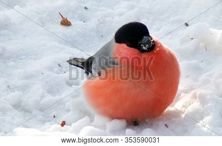 Male Red Bullfinch Sitting In The Snow. Magnificent Plumage Of The Winter Bullfinch. Bullfinch With