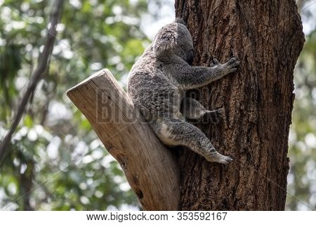 Koala Perched Up Tree In Currumbin Wildlife Sanctuary