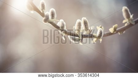 Spring Nature Scene With Pussy Willow Branch, Soft Focus. Blooming Fresh Willow Branch Tree Close Up